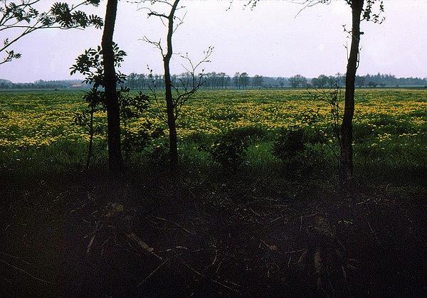 gelbe-Wiese