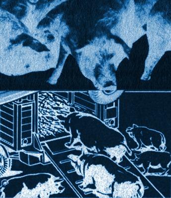 Schweine-Transport